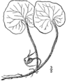 Asarum canadense-linedrawing3.png