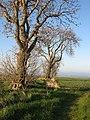 Ash trees, Haddenrig - geograph.org.uk - 466195.jpg
