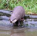 Asian short clawed Otter (2761800243).jpg