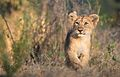 Asiatic Lion Cub takes a stroll.jpg