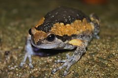 Asiatic Painted Frog (Kaloula pulchra) 花狹口蛙2.jpg