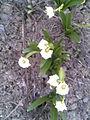 Asparagales - Leucojum vernum 5.jpg