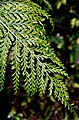 Asplenium bulbiferum in Auckland Botanic Gardens 04.jpg