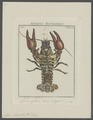 Astacus fluviatilis - - Print - Iconographia Zoologica - Special Collections University of Amsterdam - UBAINV0274 097 01 0006.tif
