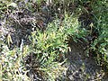 Astragalus miser (5156416259).jpg