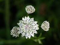 Astrantia major Mitterbach 01.JPG
