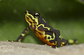 Atelopus limosus female, highland color form.jpg