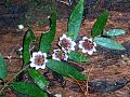 Atherosperma Mt Grundy NSW.jpg