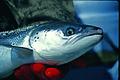 Atlantic Salmon female (9680674470).jpg