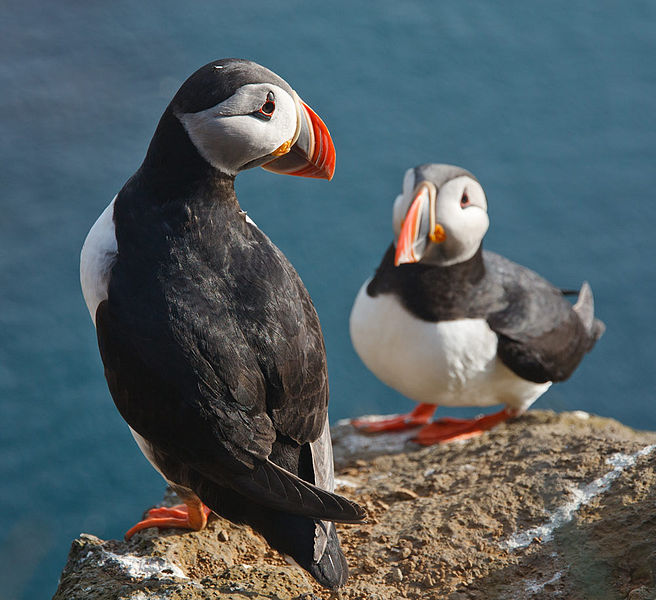 Fil:Atlantic puffin 057.jpg