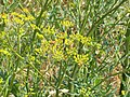 Atlas roslin pl Pasternak zwyczajny 7234 7529.jpg