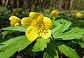 Atlas roslin pl Zawilec żółty 8134 6335.jpg