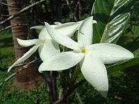 Atractocarpus hirtus