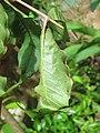 Attacus taprobanis - Atlas moth larva on the leaves of Zanthoxylum rhetsa at Peravoor (3).jpg