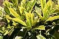 Aucuba japonica 4zz.jpg