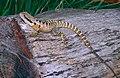Australian Water Dragon (Physignathus lesueurii) (10106240786).jpg
