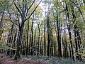 Autumn Beech - Nov 2012 - panoramio.jpg