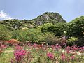 Azalea flowers in Mifuneyama Garden and Mount Mifuneyama 2.jpg