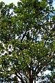 Búcaro (Erythrina fusca) (14516944517).jpg