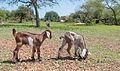 Baby goats in Margarita Island.jpg
