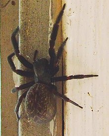 Badumna insignis (Black window spider).jpg