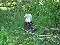 Bald Eagle, resting in Alaska 2009 007.jpg