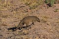 Banded mongoose, Ruaha National Park (3) (28106005354).jpg