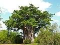 Baobab (Adansonia digitata) (6041354180).jpg