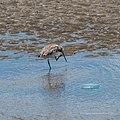 Bar-tailed godwit tidal strand Sandgate Bramble Bay Queensland P1090362.jpg