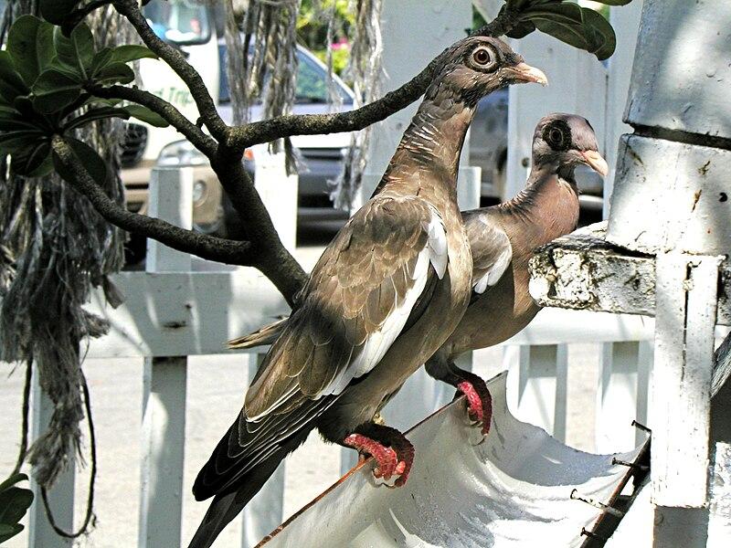 Ficheiro:Bare-eyed pigeon.jpg