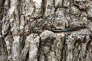 Living tree bark enveloping barbed wire