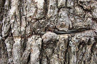 Bark (botany) - Living tree bark enveloping barbed wire
