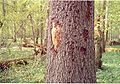 Bark beetle and woodpecker signs on spruce bark, May 2007, Bialowieza National Park, Poland.jpg