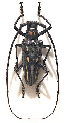 Batocera rosenbergi - WikiVisually