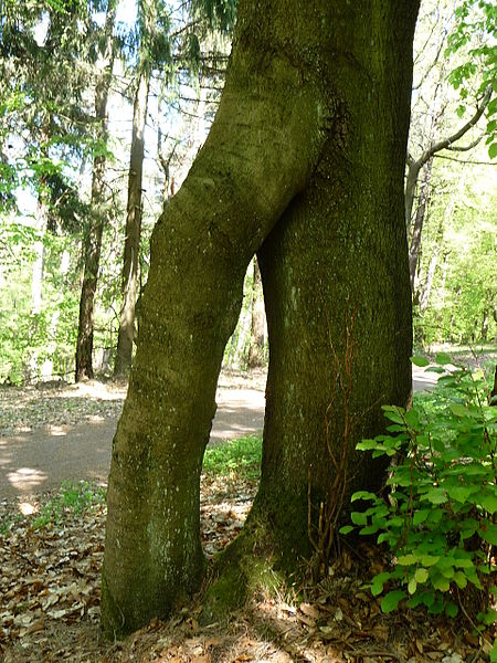 File:Baum bei der Totenkopfhuette 01.jpg