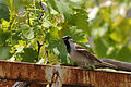 Bayağı Serçe - Passer domesticus - House sparrow 05.JPG