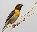 Baya Weaver (Ploceus philippinus)- Male W IMG 0706.jpg