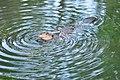 Beaver at Meadowbrook Pond, Seattle 17.jpg
