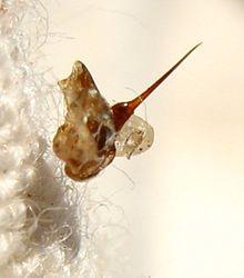Abeille et Nectar des Dieux dans ABEILLES 220px-Bee-sting-abeille-dard-2