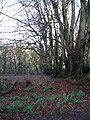 Beech hedge in the woods. - geograph.org.uk - 104507.jpg