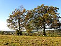 Beeches, Farthing Downs, Coulsdon - geograph.org.uk - 1551658.jpg