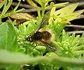 Beefly. Bombyliidae (30466824137).jpg