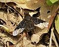Beefly. Hemipenthes morio. Anthracini, Bombyliidae (45292965441).jpg