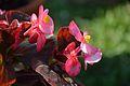 Begonia semperflorens - Alipore - Kolkata 2013-02-10 4785.JPG