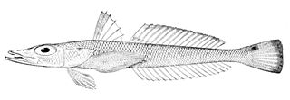 Percophidae family of fishes