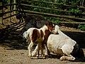 Bergtierpark Erlenbach Shetlanpony-Fohlen mit seiner Mutter.JPG