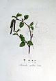 Betula alba — Flora Batava — Volume v6.jpg