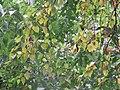 Betula sp. - breza.jpg
