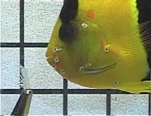 File:Bicolor angelfish-Feeding-Apparatus.ogv