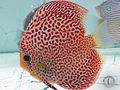 Biotópica, breeding discus fish Spider Rubby Face Spotted.jpg
